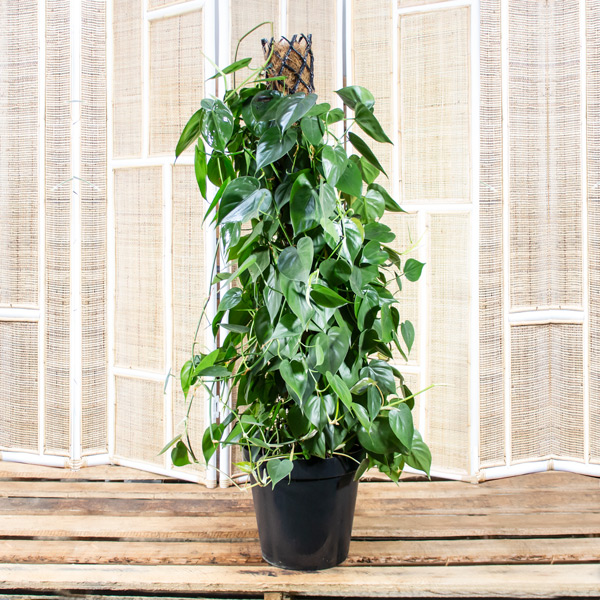 Sweatheart Vine - Philodendron