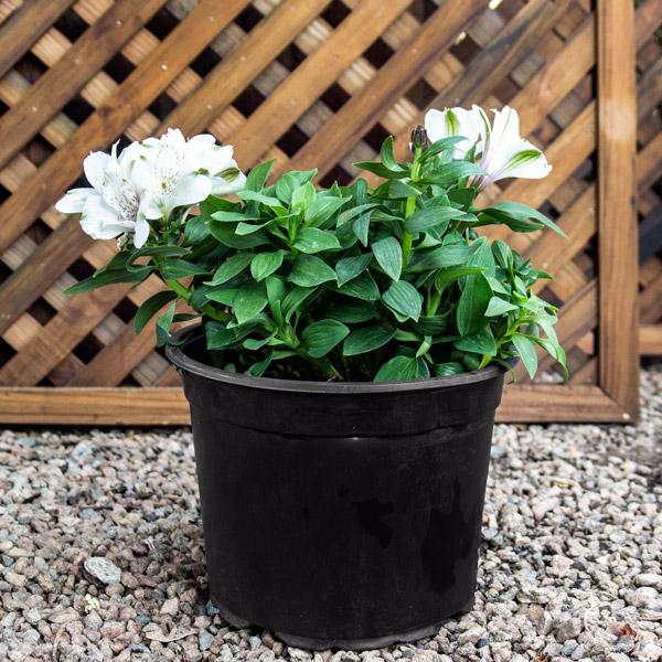 Alstromeria - Inca Lily 20cm
