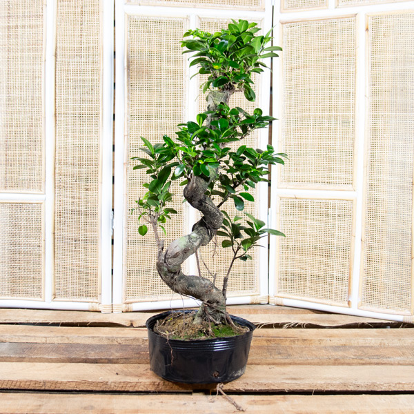 Bonsai - Ficus Ginesng