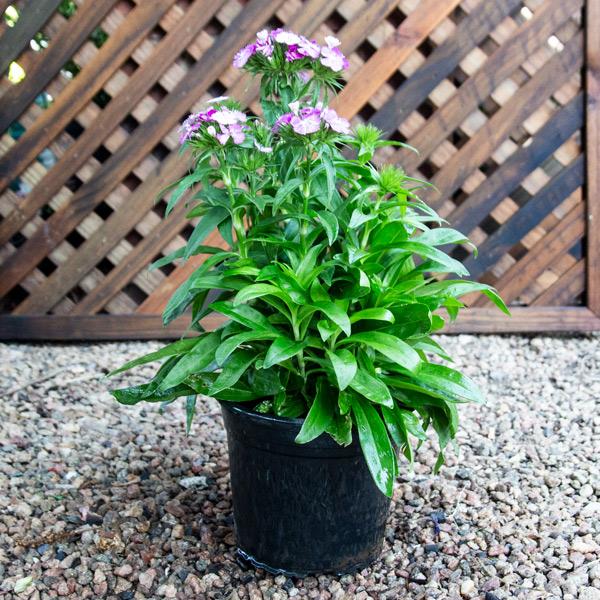 Carnation - Dianthus Dash Mix 17cm