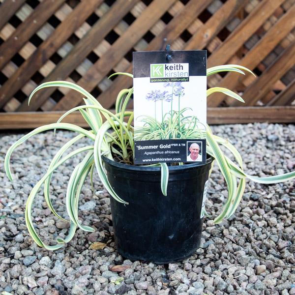 Agapanthus SummerGold - Nile Lily 17cm