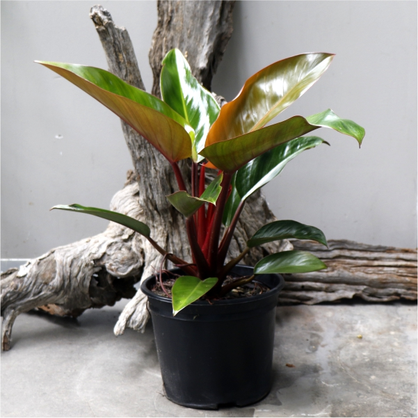 Philodendron Imperial red - Bronze red foilage