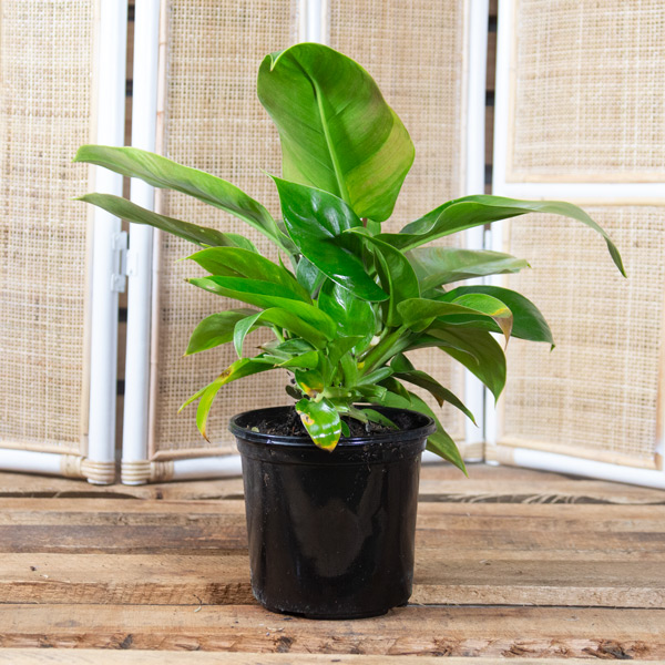 Upright Philodendron