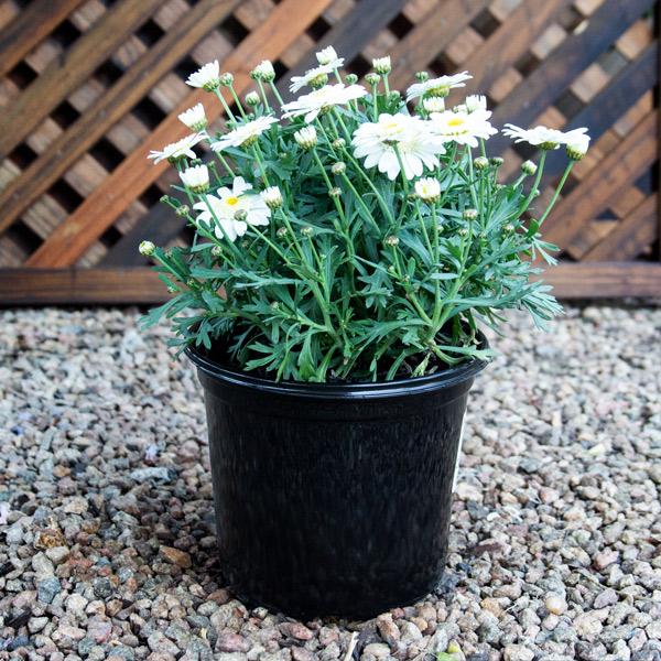 Daisy Bush - argyranthemum 16cm