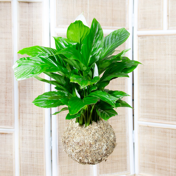 Split Leaf Philodendron in Moss Ball