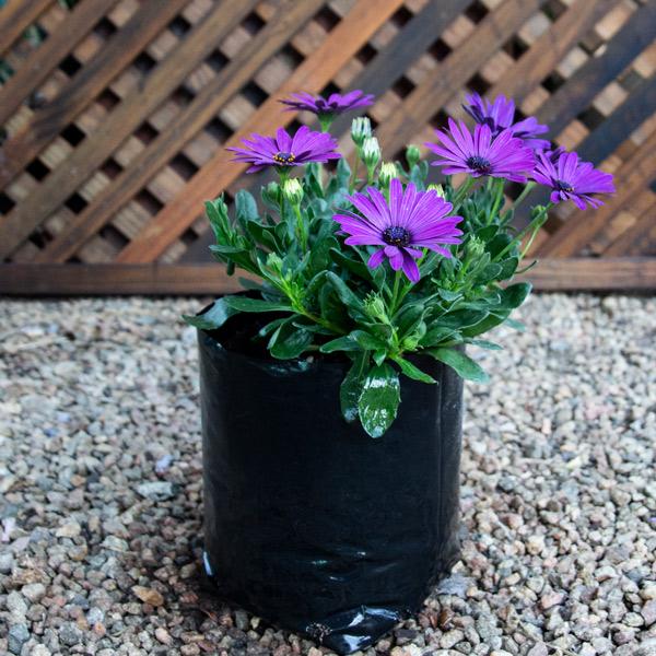 Cape Daisy - Osteospermum Mixed 4L
