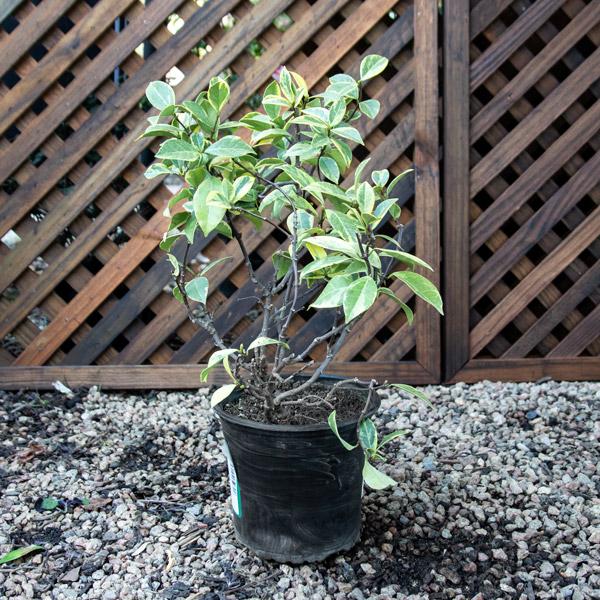 Trachelospermum Varigated - Star Jasmine 17cm