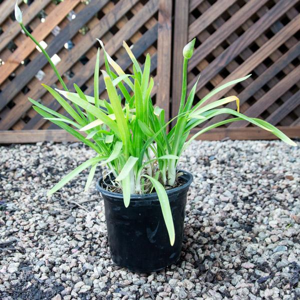 Agapanthus Africanus - Lapis Nile Lily 15cm