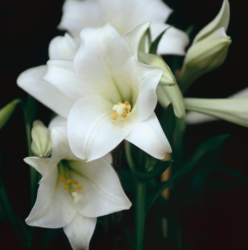 Lilium longiflorum - Snow White - 2 x 5 Bulbs
