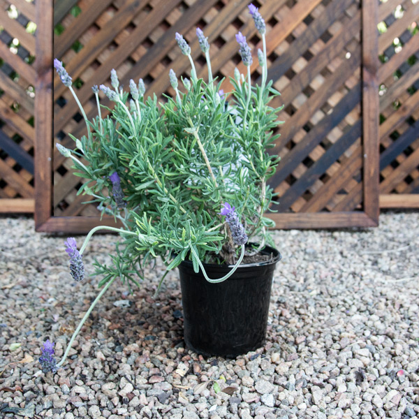 French Lavender - Lavandula Dentata 15cm