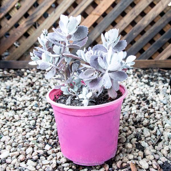 Perennial - Kalachoe Pumila 15cm
