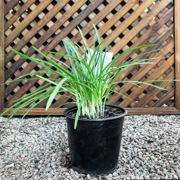 Agapanthus Snow Storm - Nile Lily 20cm