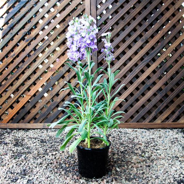 Stocks Vivas Lavender 15cm
