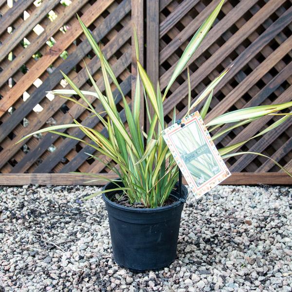 Phormium Apricot Queen - New Zealand Flax 4L