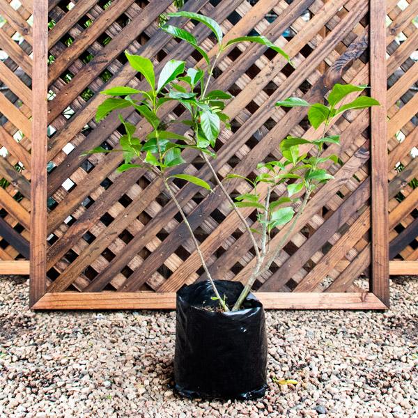 Gardenia Belmont 4L