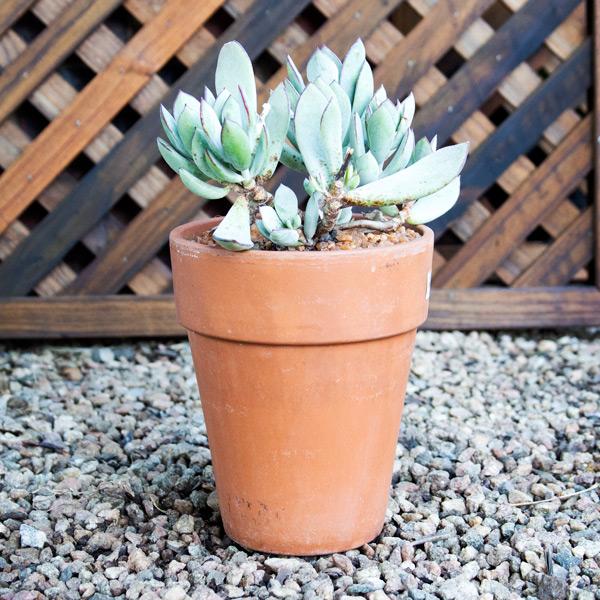 Ngena Succulent 17cm