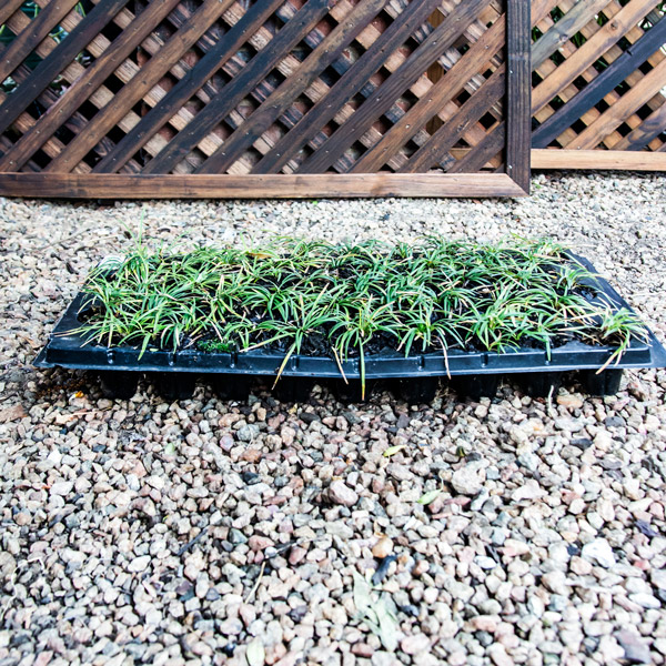 Ophiopogon Japonicus - Mondo Grass 45 Pack Tray