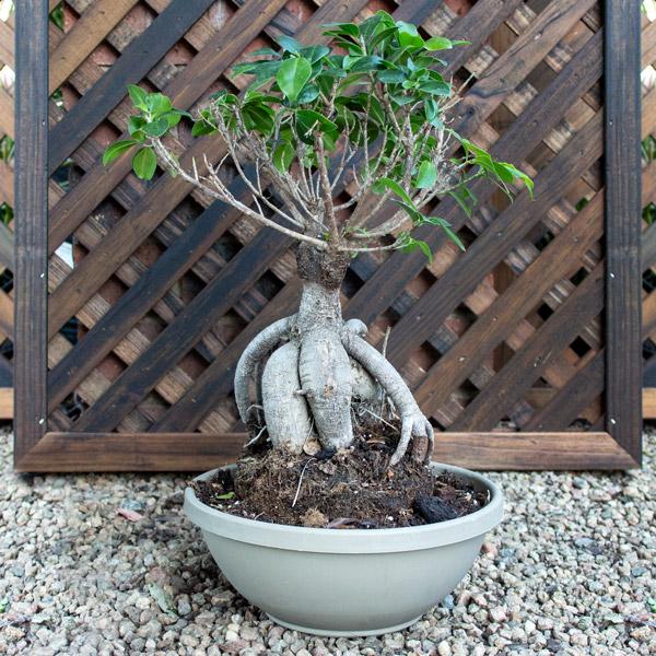 Ficus Ginseng - Ginseng Fig