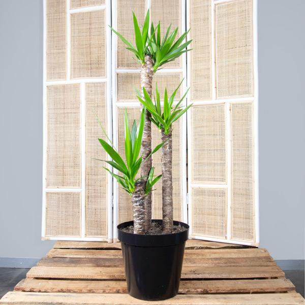Spineless Yucca - Yucca Gigantea