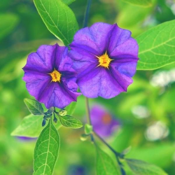 Solanum Potato Bush