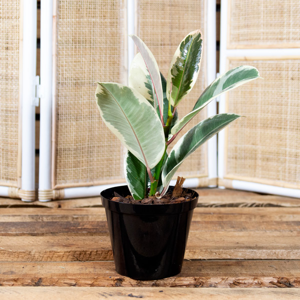 Ficus robusta - Variegated Rubber Plant
