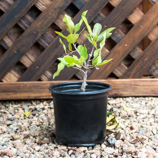 Ficus Microcarpa - Weeping Fig