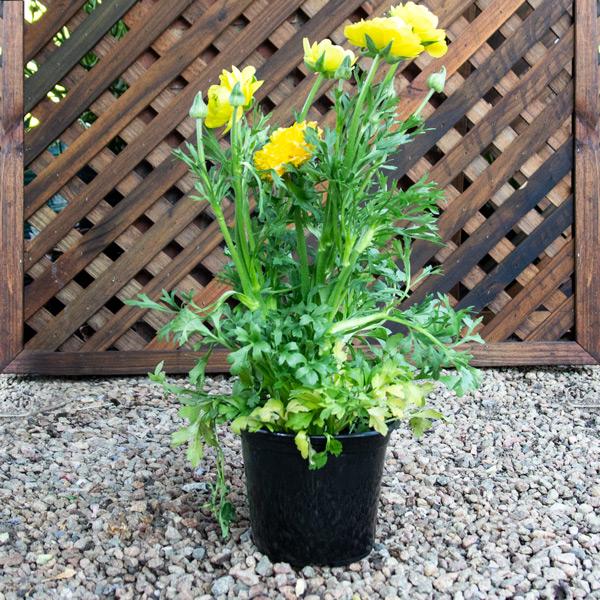 Ranunculus Mixed 17cm