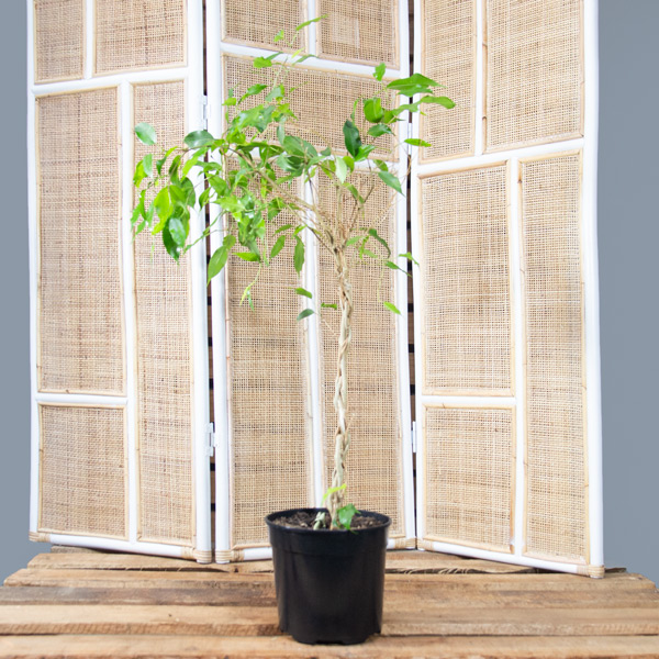 Ficus benjamina - Weeping Fig