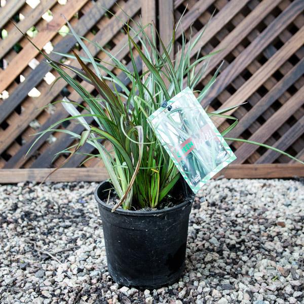 Phormium Baby Green - New Zealand Flax 15 cm