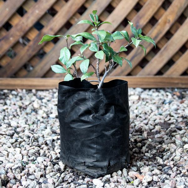 Trachelospermum Jasminoides - Star Jasmine 2L