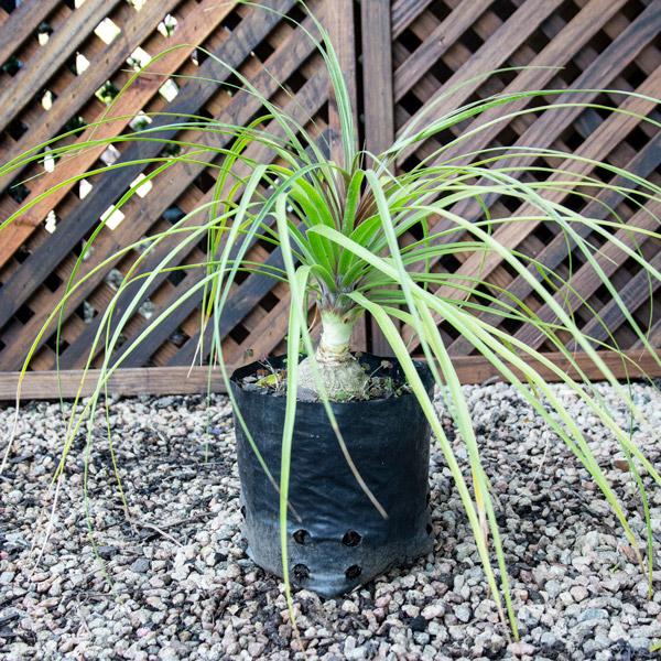 Beaucarnea Recurvata - Ponytail Palm 4L