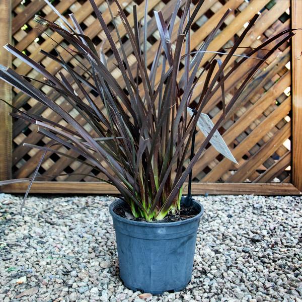 Phormium Tenax Rubra - Dwarf Flax 15cm