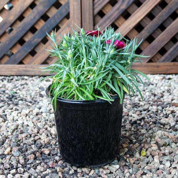 Carnation - Varieties 15cm