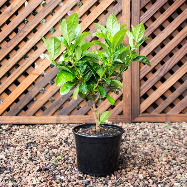 Viburnum - Viburnum Sinensis 4L