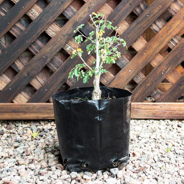 Bonsai - Acacia Burke