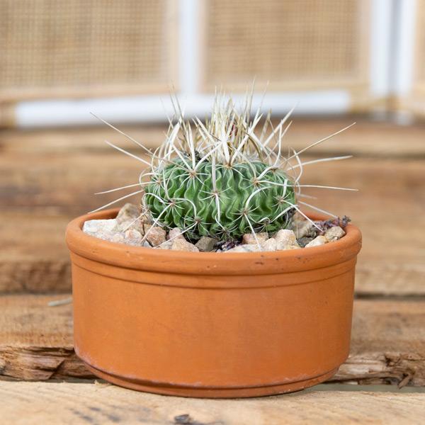 Succulent In terra-Cotta Pot