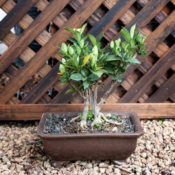 Gardenia Angustifolia - Gardenia