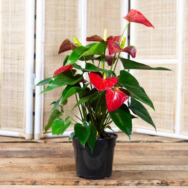 Flamingo Plant - Anthirium x hybrid