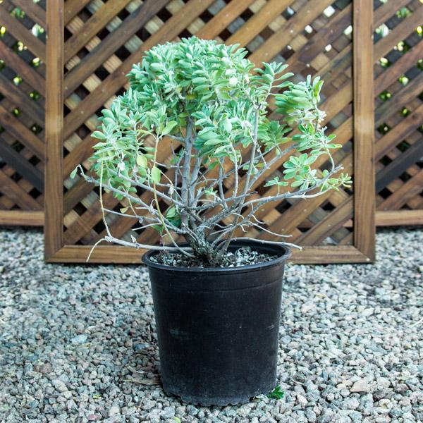 Salvia Varieties  17cm