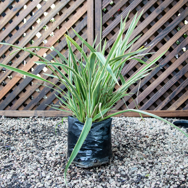 Phormium Wings Of Gold - New Zealand Flax 4L