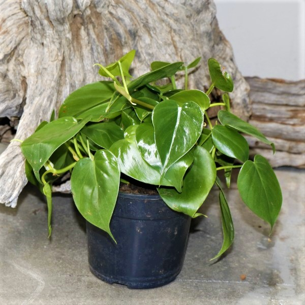 Philodendron Scandes - Sweetheart Vine