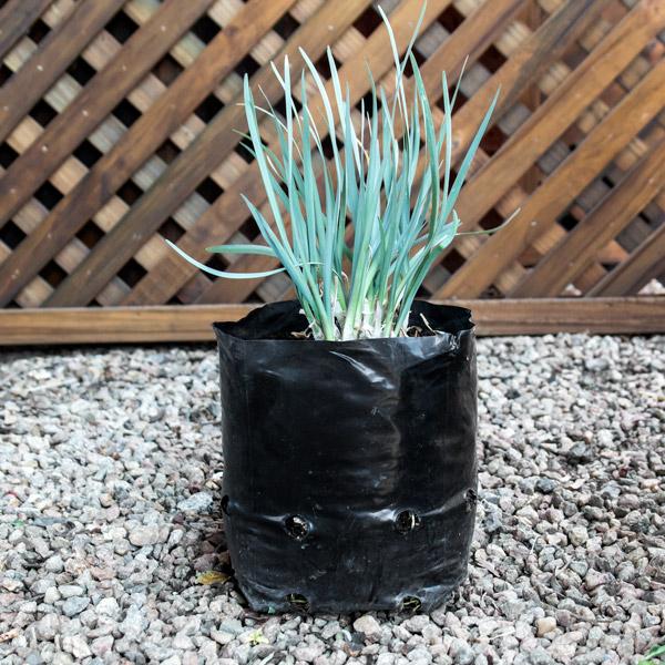 Tulbaghai Violacea - Wild Garlic 4L