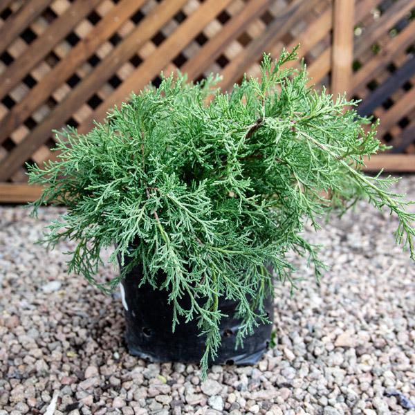 Juniperus - Gold Coast Juniper 4L