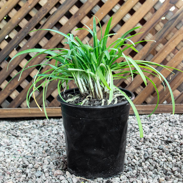 Agapanthus Blue - Lily Of The Nile 20cm