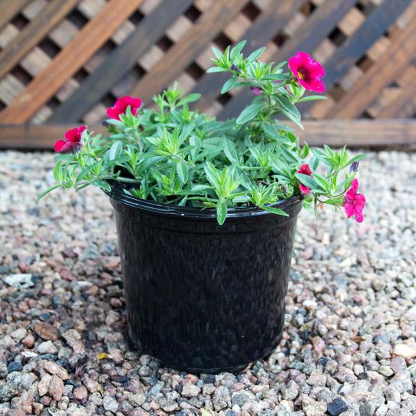 Calibrachoa - Petunia 17cm