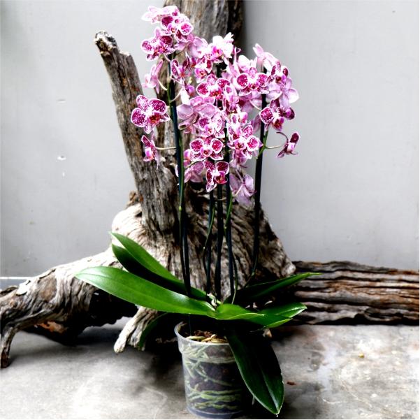 Phalaenopsis Multistem - Moth Orchid