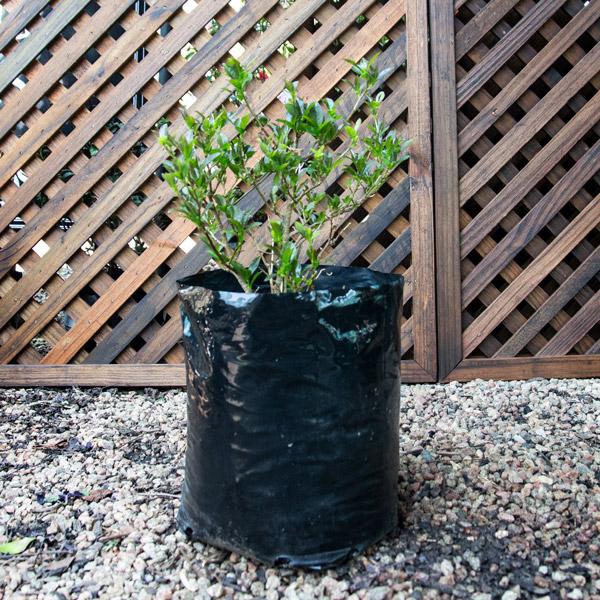 Brunfelsia Pauciflora - Yesterday Today Tomorrow