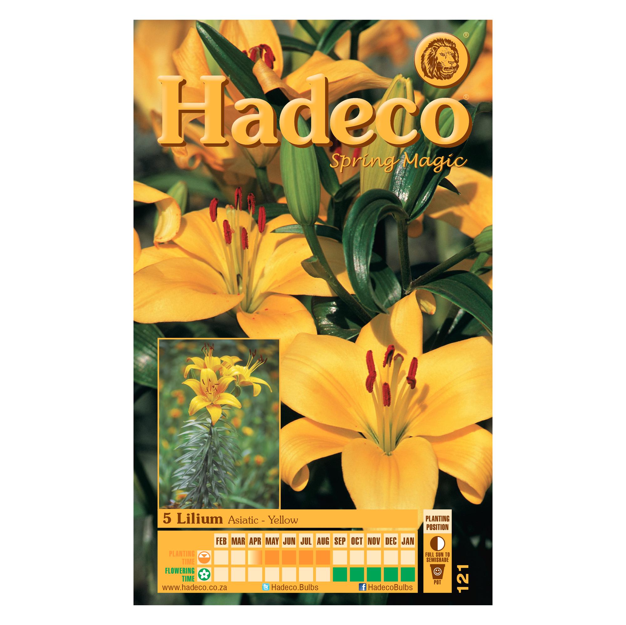 Lilium Asiatic -  Yellow - 2 x 5 Bulbs